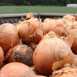 【BUY 5 AT 5% OFF】Hokkaido Tamanegi (Onion) 5pcs / 北海道 玉ねぎ (たまねぎ) L大