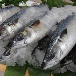 Norwegian Mackerel  Saba Half Cut ~300gm / ノルウェー産大型鯖ハーフカット 300g前後 脂の乗り最高♪