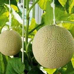【IN SEASON】 Melon Crown from Shizuoka /  メロン   クラウン【Delivers on Thurs & Fri | 木曜日 金曜日配達分受付中】
