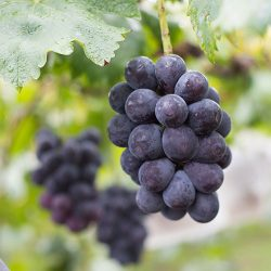 Pione Grapes fom Japan ~300g per pack / ピオーネ【Delivers on Fri & Sat | 金曜日&土曜日配達分受付中】